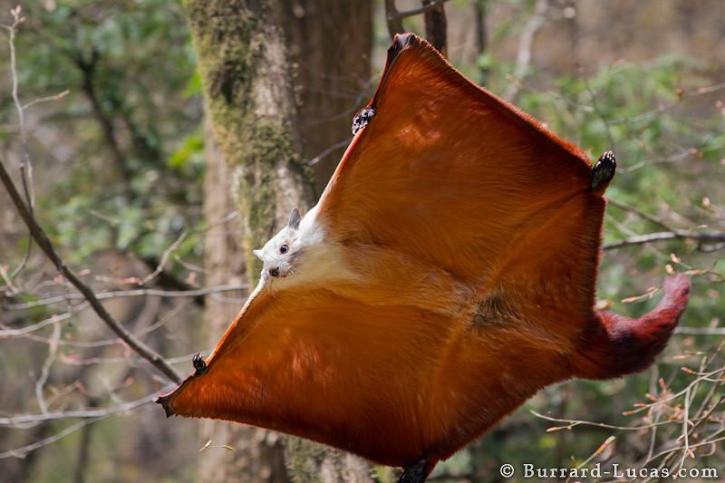 écureuil parachute