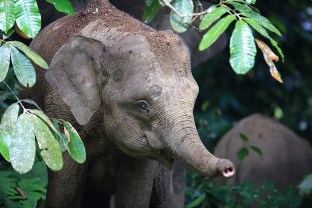 Éléphant de Bornéo