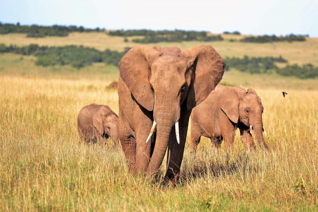 Éléphant marchant dans la faune