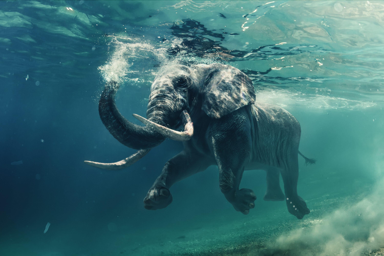 Éléphant qui nage dans l'eau