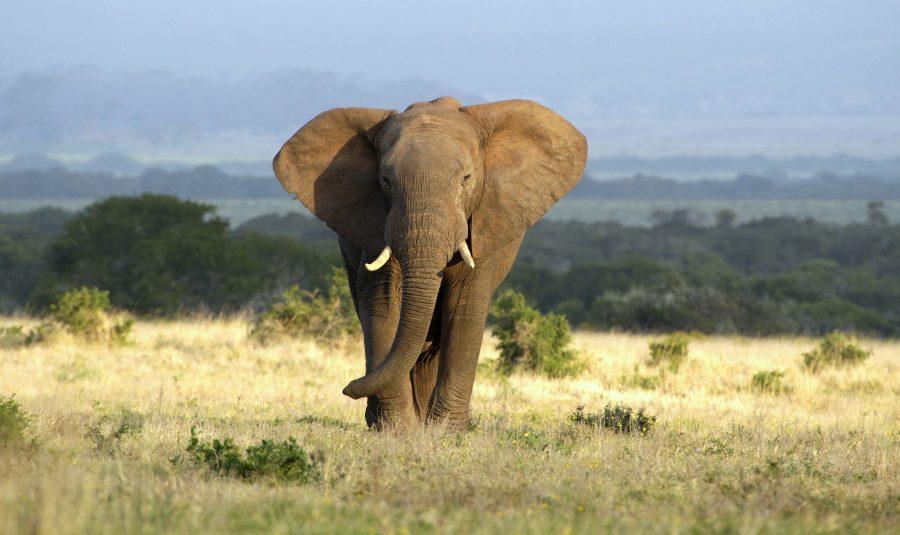 7 idées reçues sur les éléphants