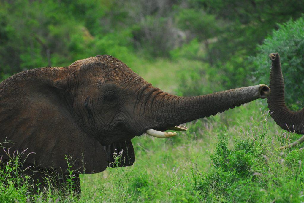 Deux trompes d'éléphants