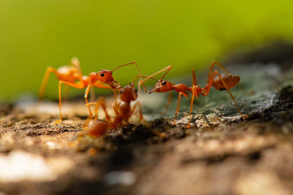 des fourmis qui travaillent en équipe