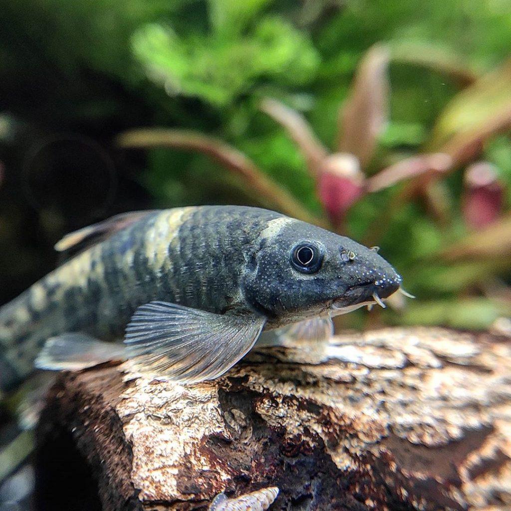poisson garra flavatra