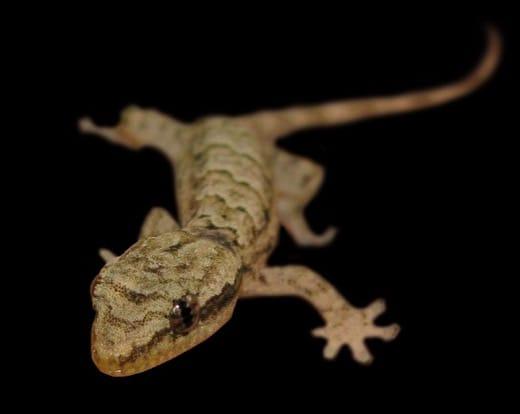 Gecko Blanc Moko Uru Uru Kau