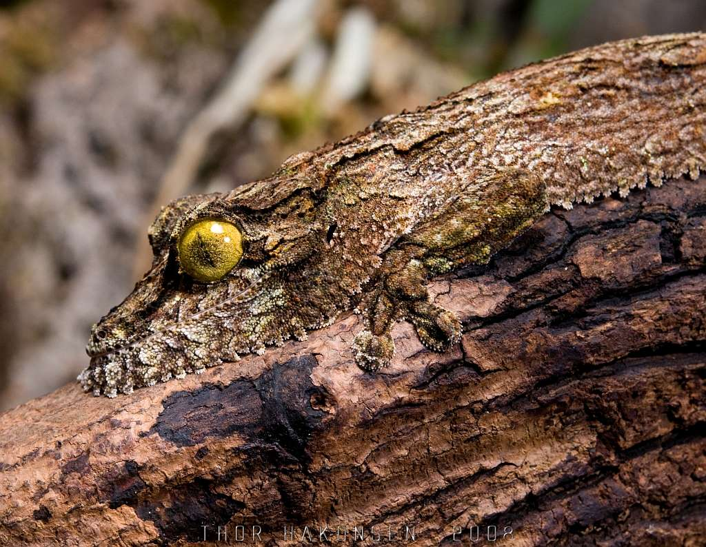 gecko uroplatus henkeli