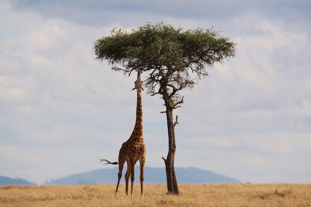 Giraffe au Kenya