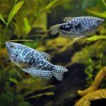 Gourami : espèces & variétés de poissons