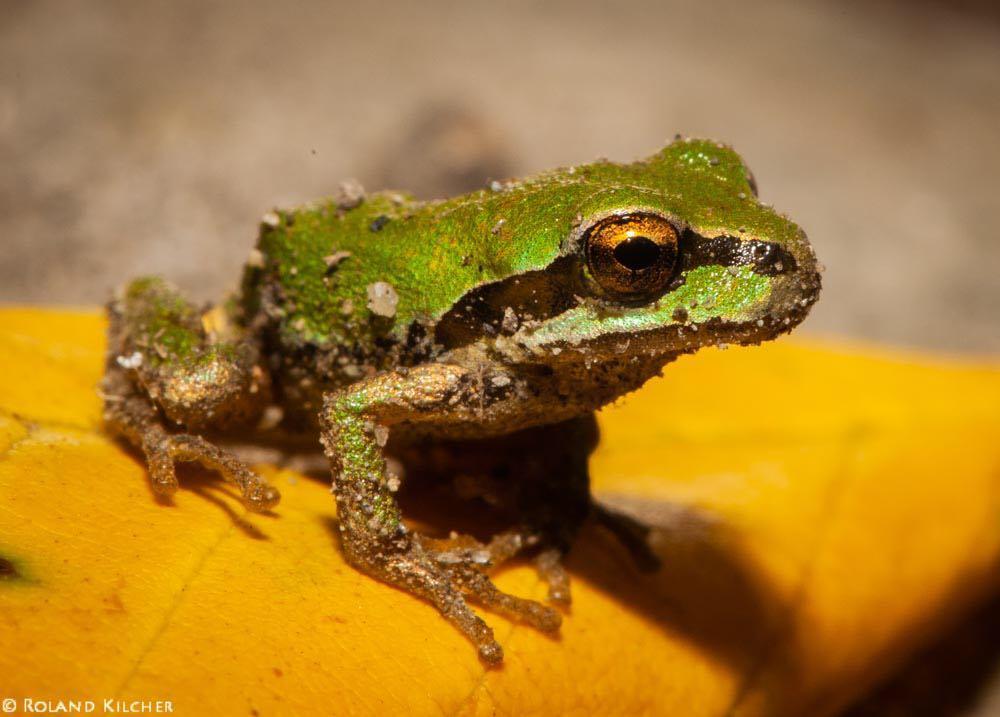grenouille rainette du pacifique