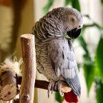 Perroquet gris du Gabon : infos et conseils