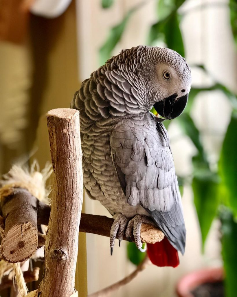 Perroquet gris du Gabon : comportement & prix