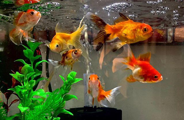 groupe de poissons rouges dans aquarium