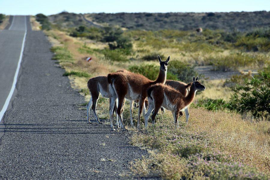 Quels animaux voir en Argentine ?