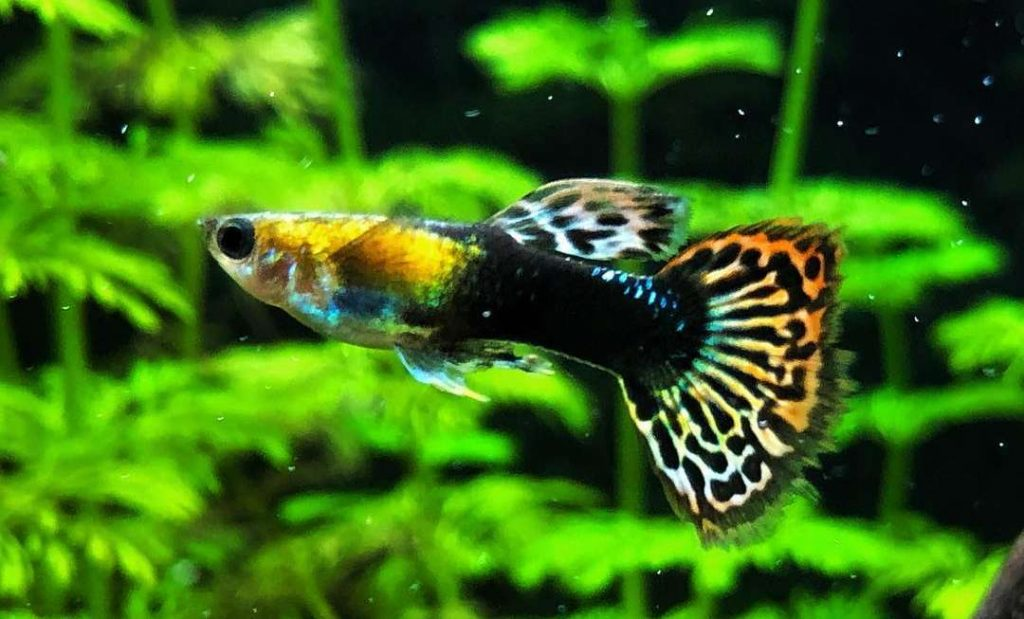 poisson guppy