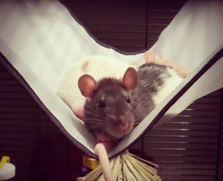 Hamac pour hamster et rongeurs