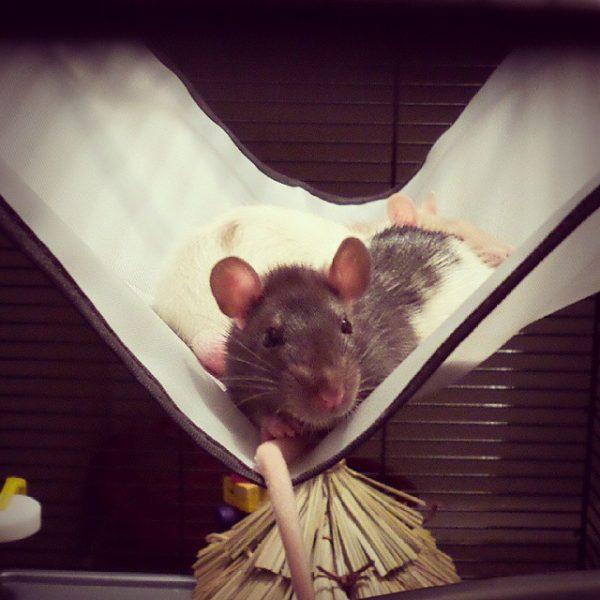 Hamac pour hamster