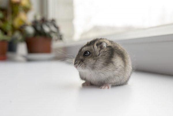 Maladies du hamster