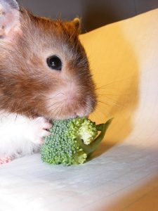 hamster mangeant des broccolis