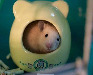 Comment aménager la cage du hamster