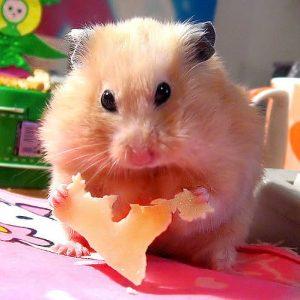 hamster mange du fromage