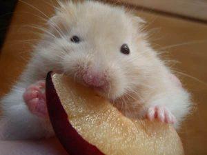 hamster mange fruits