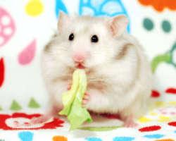 Hamster : quelle nourriture choisir pour son alimentation ?