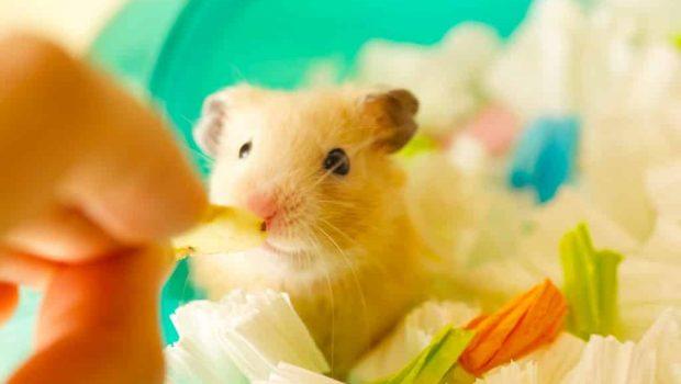 Quelle nourriture mange le hamster ?