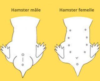 Hamster mâle ou femelle : déterminer son sexe
