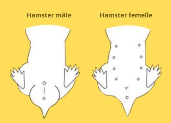 Hamster mâle ou femelle : déterminer son sexe et lequel choisir