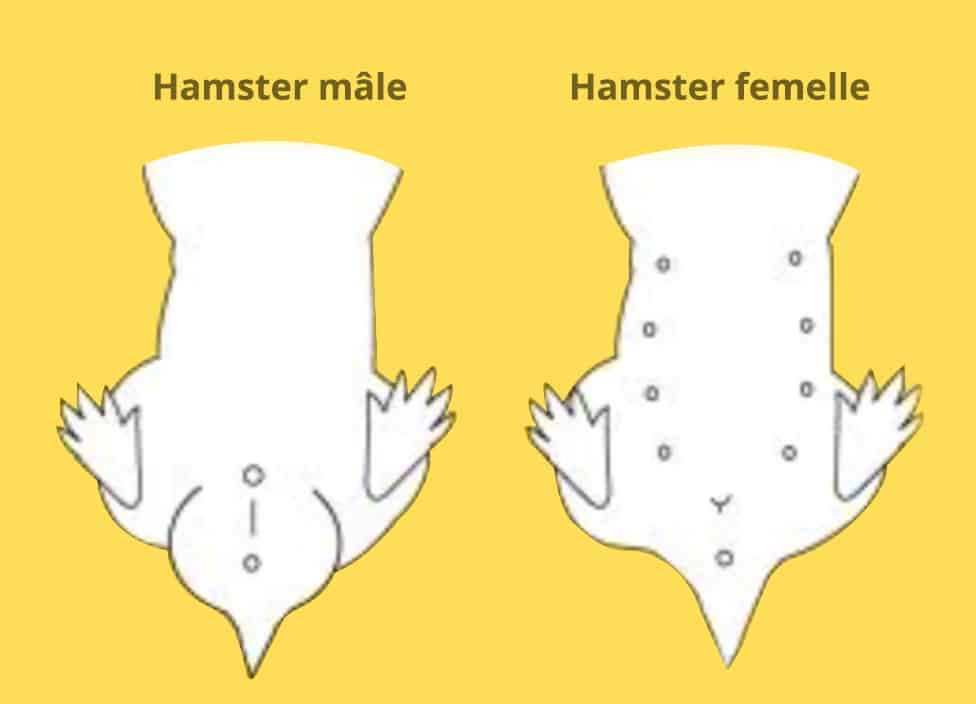 hamster male et femelle schéma