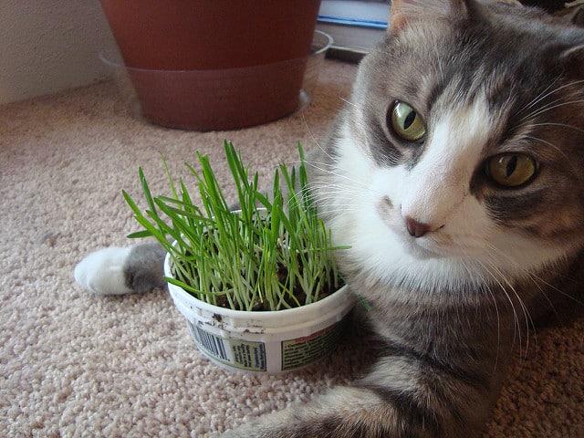 herbe à chat soit-même
