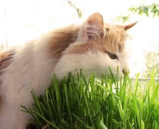 Herbe à chat : quels effets pour le chat ?