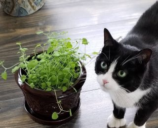 Herbe à chat : infos, effets & conseils