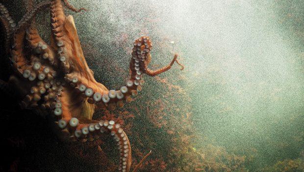 Histoires de pieuvres géantes à travers le monde