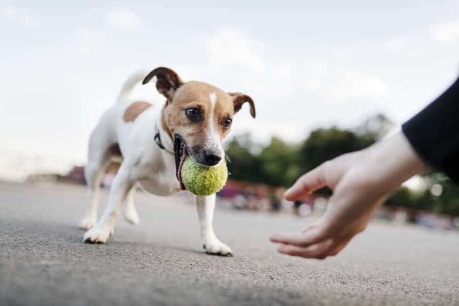 Apprendre à ton chien à rapporter son jouet
