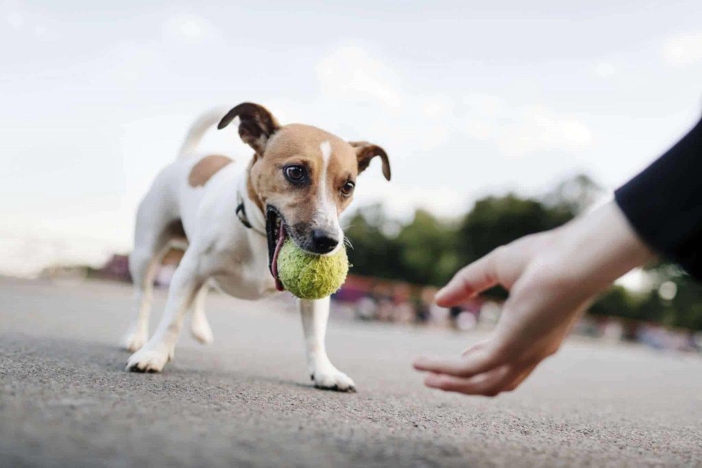 apprendre à son chien à ramener la balle