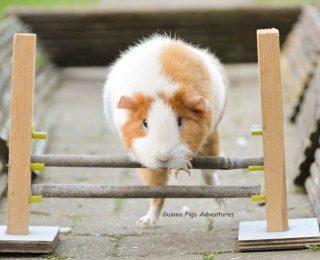 6 jeux et jouets pour son cochon d'Inde