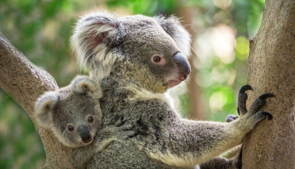 Koala avec son bébé
