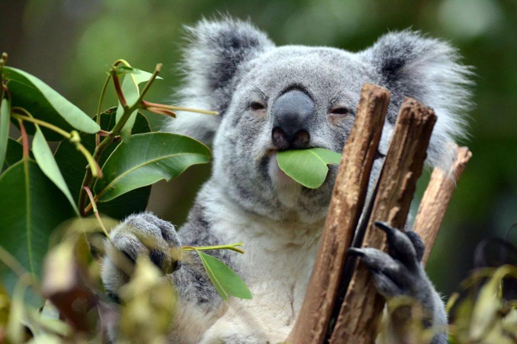 koala qui mange une feuille d'eucalyptus