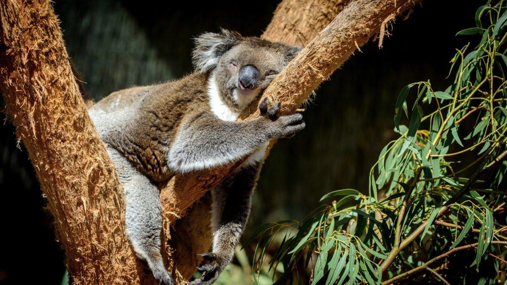 koala qui dort sur une branche