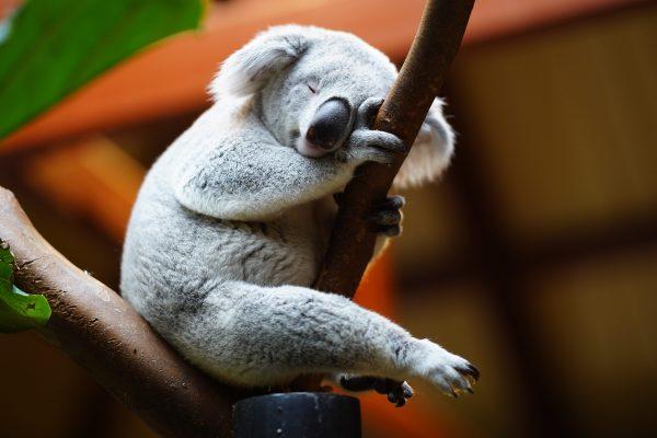 Le Koala : mode de vie, comportement et alimentation