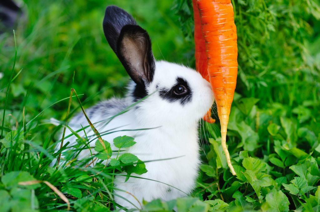 lapin qui mange une carotte