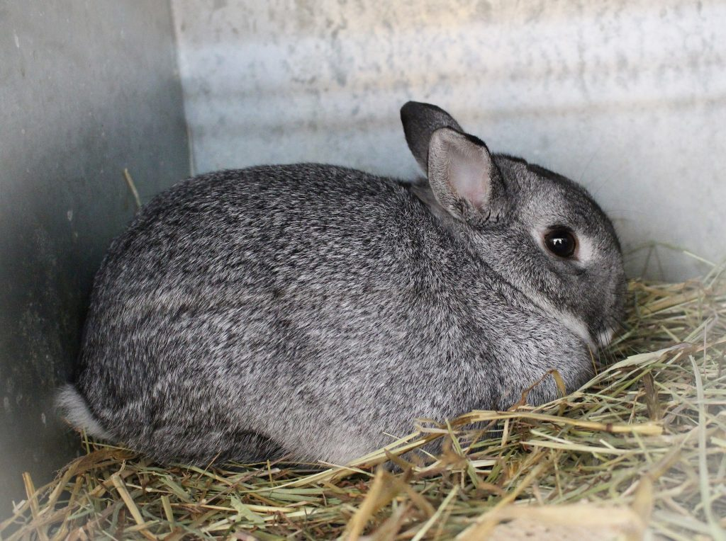 Lapin chinchilla