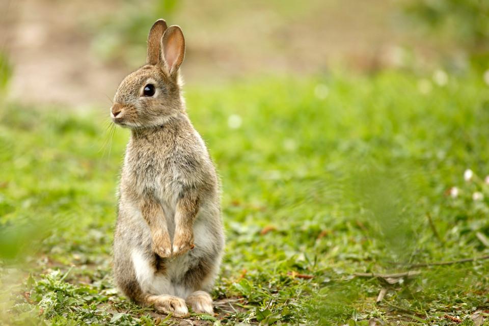 lapin curieux debout