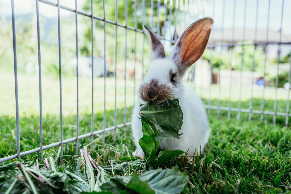 Lapin qui mange des feuilles
