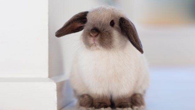 La pasteurellose chez le lapin