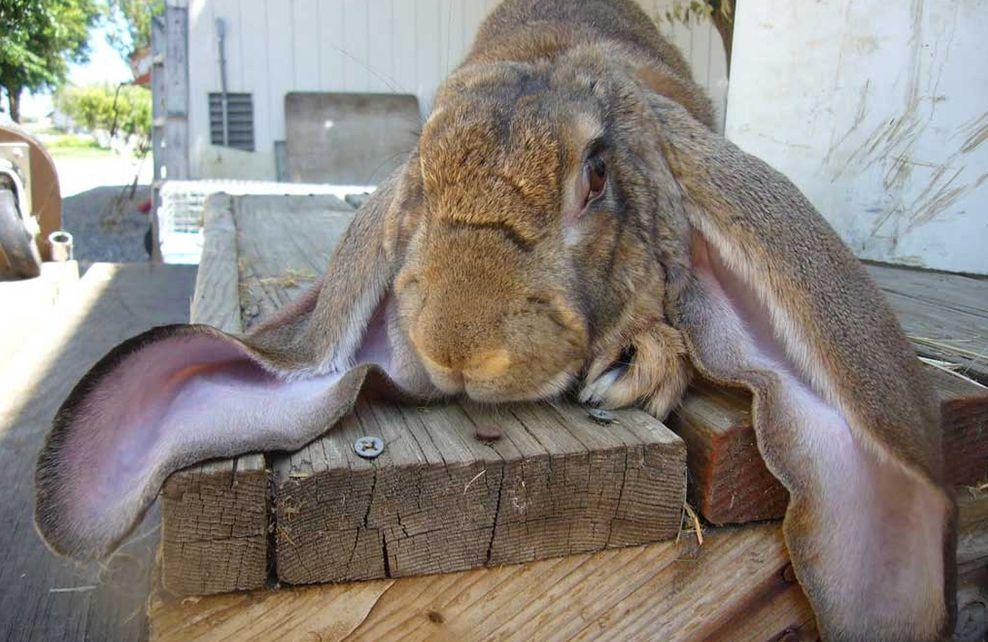Lapin géronimo aux grandes oreilles