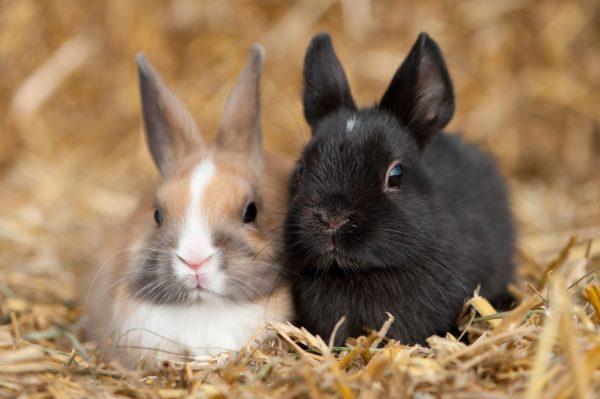Vaccination du lapin nain