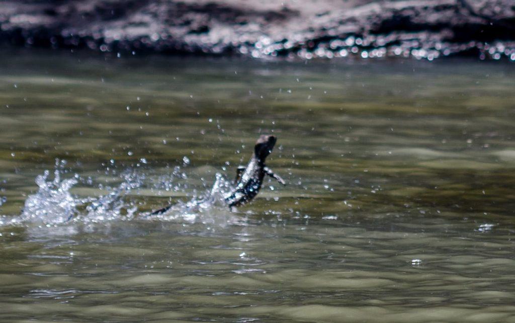 lézard marche sur l'eau