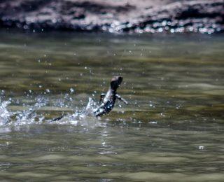 6 animaux qui peuvent marcher sur l'eau !